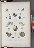 Mollusques: 1, -5, Turbo tubereculeux, N, 6, – 8, Turbo émeraude, 9, - 14, Turbo ondulé, abec son anatomie, 15, - 18