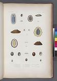 Mollusques: 1, – 3, Patelle en bateau, 4, - 6, Patelle bleue, var, 7, 8, Patelle seutellaire, 9, 11