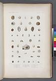 Mollusques: 1, – 5, Crépidule tomenteuse, 6, - 9, Crépidule maculée, 10, - 12, Crépidule à côtes, 13, 14