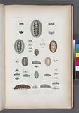 Mollusques: 1, – 3, Oscabrion aiguillonne, Gm, 6, Oscabrion variété, A, 7, – 11, Oscabrion glauque, N, 12, – 16