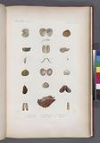 Mullusques: 1, – 4, Trigonie petcinée, 5, - 10, Nucle australe, N, 11, – 14, Vénéricarde australe, 15, 16