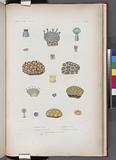 Zoophytes: 1–3, Astrée verte, 4–5, Astrée anormale, 6–7, Astrée ananas, 8, variété de la même