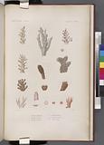 Zoophytes: 1–2, Madrépore abrotanoïde, 3, Madrépore plantain, 4, Madrépore prolifère, 6–7, le même, variété A