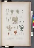 Zoophytes: 1–4, Cornulaire multipinnée, 5–7, Cornulaire verdâtre, 8, 8'-10, sa varieté, 11–12, Alcyon clauque