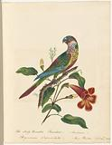 """Watercolour of the scaly-breasted parakeet, signed """"Mary Parker, Sept, 20th 1823"""""""