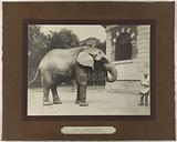 View of the Sahib elephant in the Jardin des Plantes, 5th arrondissement, Paris