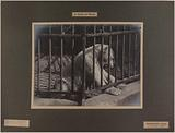 Polar bear (Greenland), gift of the Duke of Orleans. Jardin des Plantes, 5th arrondissement, Paris.