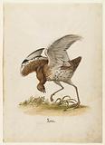 Great Bustard (Otis tarda), formerly known as Great Bustard Goose