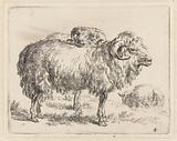 Two rams and a sheep