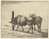 Two oxen, one scours the head against a pole