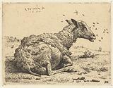 Lying sheep with flies