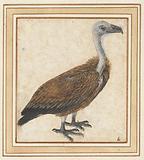 Young griffon vulture (Gyps fulvus)