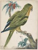Yellow-headed parakeet (Bolborhyuchus aurifrons)