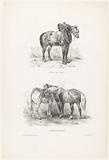 Two performances with a draft horse and picardy horses