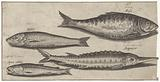 Shad, sturgeon, smelt and a herring