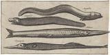 Garfish, pipefish, eel and an eel