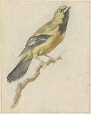Golden oriole or tronfial on a branch