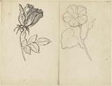 Study sheet with a rose and a crowfoot (?)