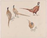 Four pheasants