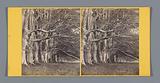 Trees along Dhu Loch Avenue near Inveraray