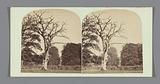 Tree in Denham Park at Bowdon