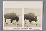 Bison, nicknamed Buster, in the Rocky Mountains