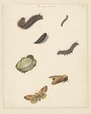 Study sheet with various caterpillars, moths, an egg and a cocoon of the Bombya Neustria