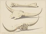 Fossil bones of an aurochs, found during the flood, 1809