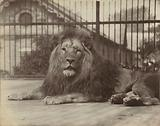 Lion in the London Zoo