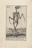 Skeleton of a heron
