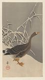 White-fronted goose in the snow