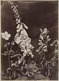Flower still life with Foxglove