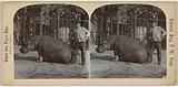 Hippopotamus in zoo (Artis?), The Netherlands