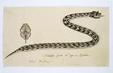 Bitis cornuta (Hornsman adder)