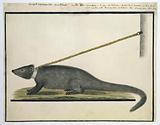 Galerella pulverulenta or Herpestes pulverulentus (Cape gray mongoose)