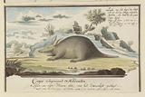 Orycteropus afer (Aardvark)