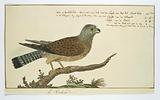 Falco tinnunculus (Common kestrel)