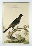 Onychognathus morio (Red-winged starling)