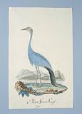 Anthropoides paradisea (Blue crane or Stanley crane)