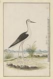 Himantopus himantopus ? (Black-winged stilt).