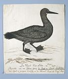Phalacrocorax capensis (Cape cormorant)