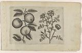 Apple and dog rose