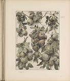 Festoons of quince, sweet chestnut, lemon and melon