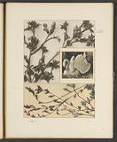 Planes with chestnut shoots, shoots of the wild mountain ash and a swan