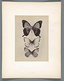 Butterflies from the collection of insect expert Charles Oberthür