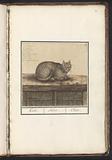Kat (Felis catus)