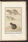 Ermine (Mustela erminea) and mink (Mustela lutreola)