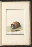 Guinea pig (Guinea pig)