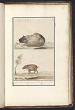 Guinea pig (Cavia porcellus) and pig