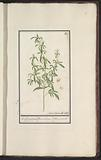 Snapdragon Plant with Seed Pods (Antirrhinum majus L)